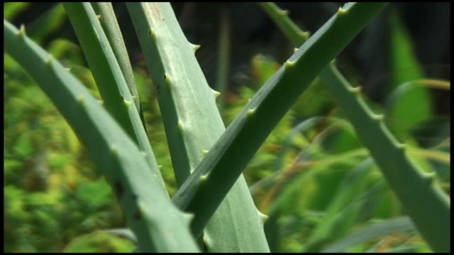 (HD1080) Aloe primer plano de la planta en el jardín - vídeo