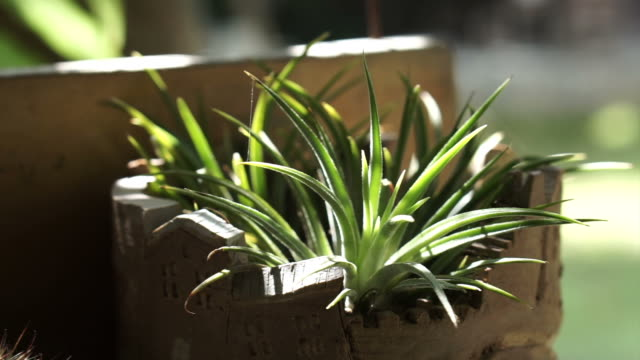 Aloe vera and cactus in ceramic planting pot with morning sunlight casting video