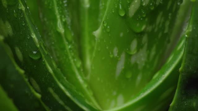 알로에 베라 클로즈업. 알로에베라 식물 회전, 천연 유기농 리뉴얼 화장품. - aloe vera 스톡 비디오 및 b-롤 화면