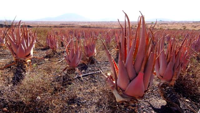 Aloe vera farm - Fuerteventura video