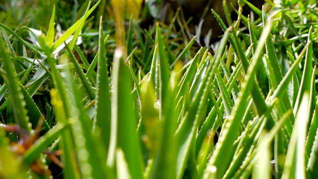 Aloe vera handheld shot focusing - vídeo