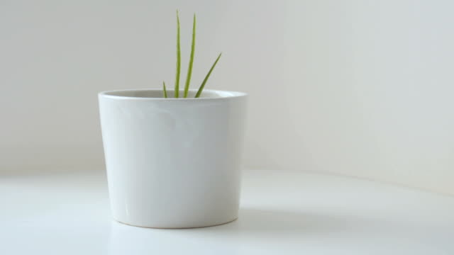 DOLLY SHOT : Aloe vera in a small white pot Aloe vera in a small white pot flower pot stock videos & royalty-free footage