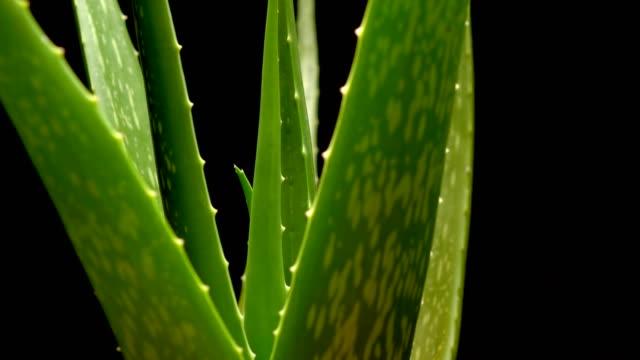 aloe vera is herb plants rotation on back background - aloe vera filmów i materiałów b-roll