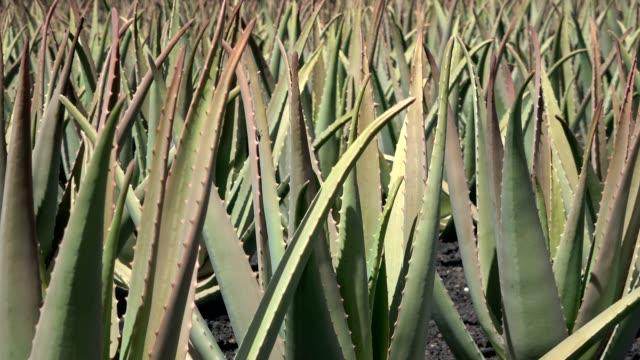 알로에 베라, 약용 식물, 화장품, 농장, 카나리아 - aloe vera 스톡 비디오 및 b-롤 화면