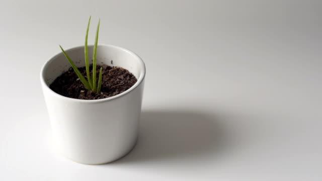 DOLLY SHOT : Aloe vera plant in a small white pot video