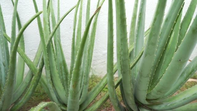 Aloe vera plant video