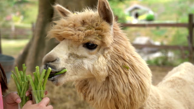 Alpaca chewing glass, feeding alpacas