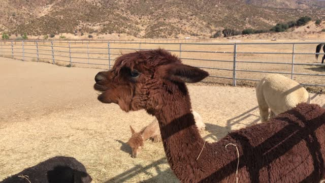 Alpaca eating video