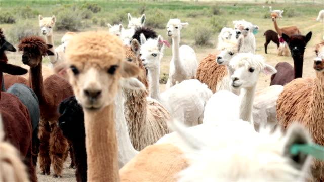 alpaka nutztier tier herde utah farm ranch - peru stock-videos und b-roll-filmmaterial