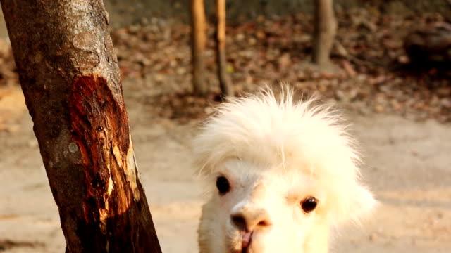 Alpaca portrait video