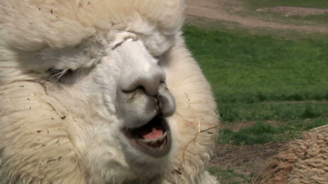 Alpaca Singing w/sound video