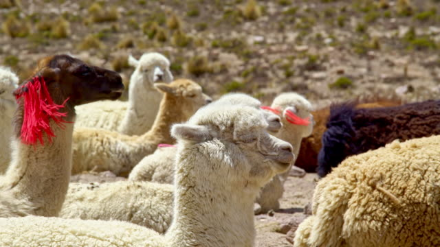 Alpacas lying in the mountains video