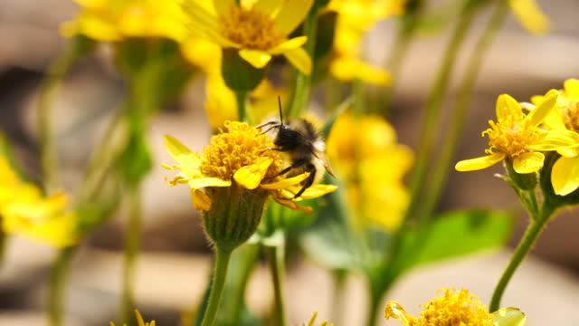 Alpine Bee