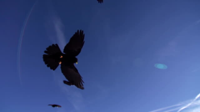 Alpine chough flying over the camera video