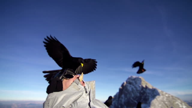 gracchio alpino atterra su un uomo s head - appollaiarsi video stock e b–roll