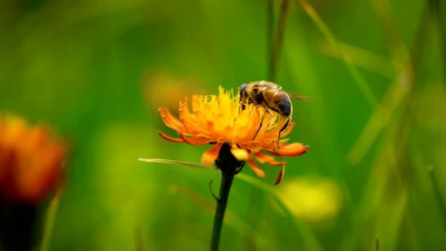 alpina äng. wasp samlar in nektar från blomman crepis alpina. - pollinering bildbanksvideor och videomaterial från bakom kulisserna