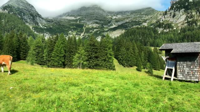vídeos y material grabado en eventos de stock de vaca de trashumancia alpina - austria