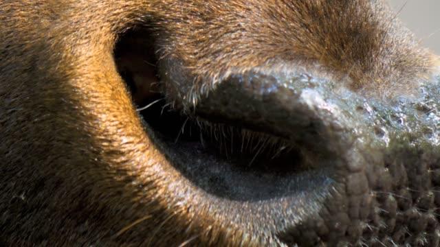 altai-maral close up of nose - jeleniowate filmów i materiałów b-roll