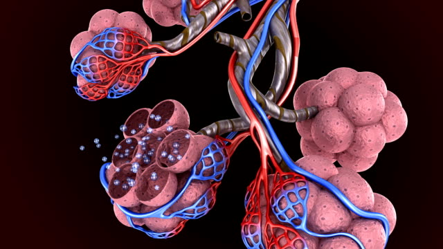 Alveoli in lungs - blood saturating by oxygen, 3d animation Alveoli in lungs - blood saturating by oxygen, 3d animation emphysema stock videos & royalty-free footage