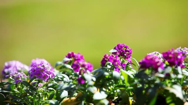 giardino primaverile fiori di alyssum - dolci video stock e b–roll