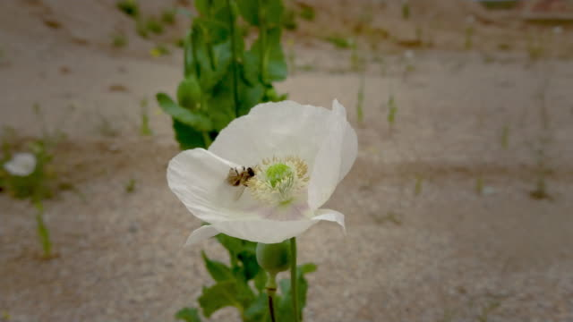 amapola blanca droga opio sola en el campo con arena y cielo nublado - vídeo
