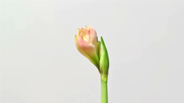 amaryllis blommar tidsfördröjning - amaryllis bildbanksvideor och videomaterial från bakom kulisserna