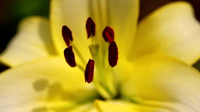 amaryllis close-up 19 - amaryllis bildbanksvideor och videomaterial från bakom kulisserna
