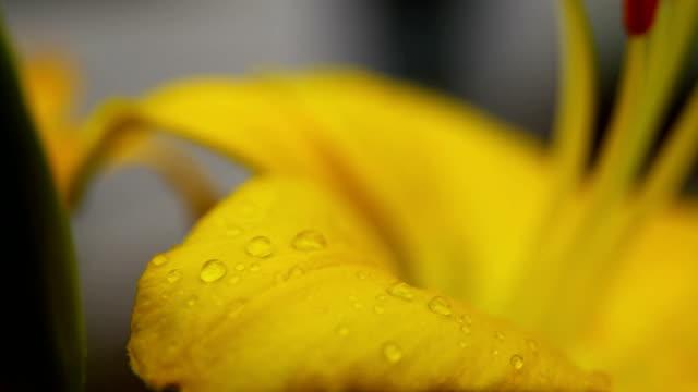 amaryllis close-up - amaryllis bildbanksvideor och videomaterial från bakom kulisserna
