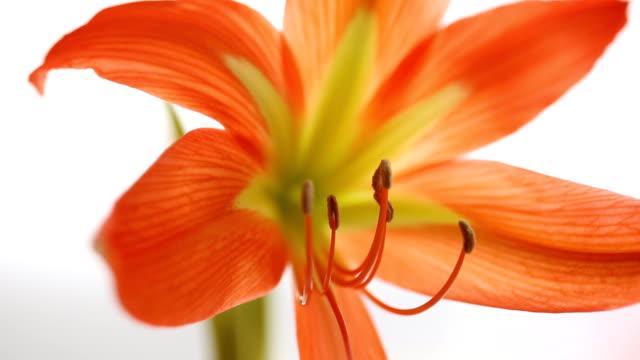 amaryllis blomma i blossom på vit bakgrund - amaryllis bildbanksvideor och videomaterial från bakom kulisserna