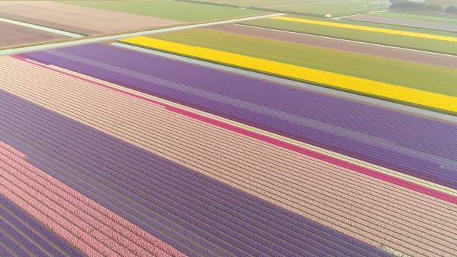 Amazing aerial view of colorful blossoming fields of tulips in Lisse, Netherlands. Aerial view of colorful blossoming fields of tulips in Lisse, Netherlands. tulip stock videos & royalty-free footage