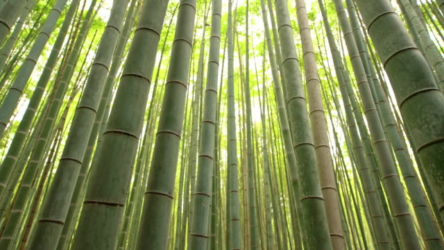 MS Amazing Bamboo forest in Japan video