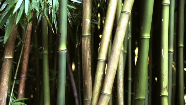 素晴らしい竹林、マウイ島、ハワイ - 笹点の映像素材/bロール