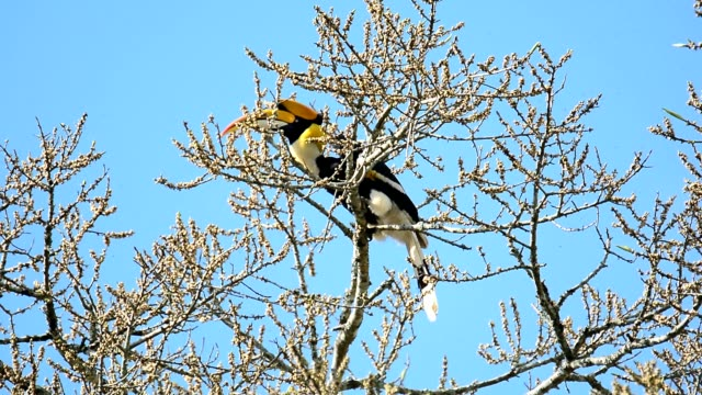 Amazing bird eating tiny fruit on treetop Big head bird,Great Hornbill( Buceros biornis)turning massive bill upward sending tiny fruit into a throat,clear blue sky background work helmet stock videos & royalty-free footage