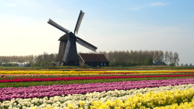 AERIAL: Amazing colorful blooming tulips and old vintage wooden windmill AERIAL, CLOSE UP: Flying next to beautiful colorful rows of flowering tulips on big floricultural farmland in front of traditional antique wooden windmill at Keukenhof gardens, Amsterdam, Netherlands tulip stock videos & royalty-free footage