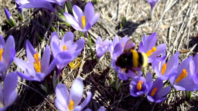 vidéos et rushes de suivi étonnant du nectar de collecte d'abeille de bourdon sur le safran de crocus de fleur pourpre - crocus