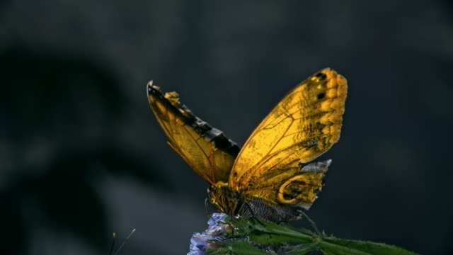 Amazing Giant Owl Butterfly