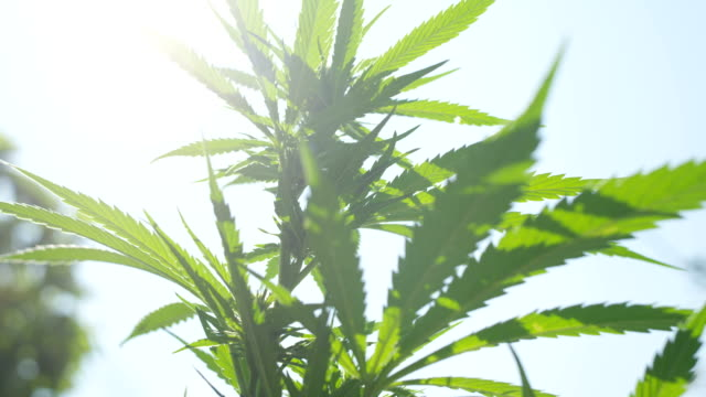 CLOSE UP, DOF: Amazing hemp plants flowering and forming big buds with THC video