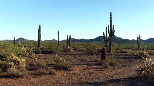 AERIAL: Amazing huge cactuses growing in vast rocky desert landscape video