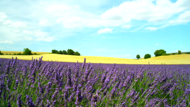 Amazing landscape with purple lavender and yellow wheat field video