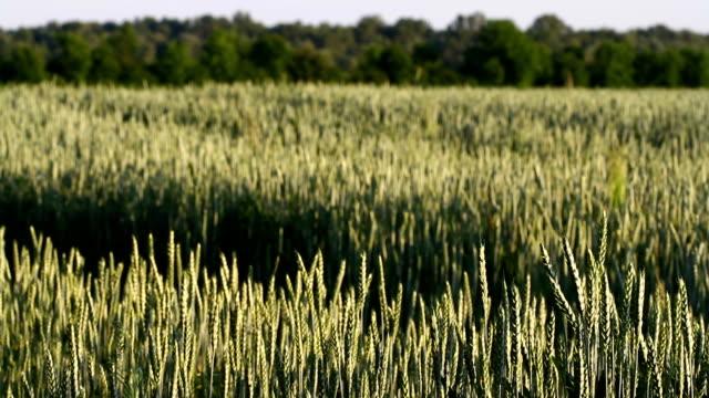 Amazing magic golden sunlight on field of wheat. Wheat crop sways on the field with golden sunlight closeup. Original high quality video. video