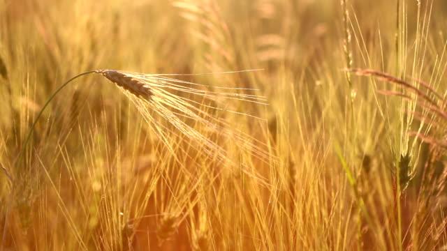 amazing magic golden sunlight on field of wheat. wheat crop sways on the field with golden sunlight closeup. original high quality video. - fermentare video stock e b–roll