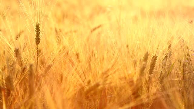 vidéos et rushes de incroyable de voir la lumière du soleil d'or magique sur le champ de blé. récolte de blé se déhanche sur le terrain avec la lumière du soleil d'or gros plan. original vidéo de haute qualité. - foin