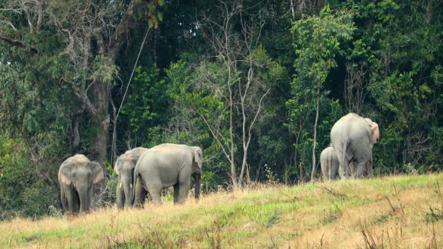 Amazing of Group asian elephants a playing at khao yai national park in Thailand video