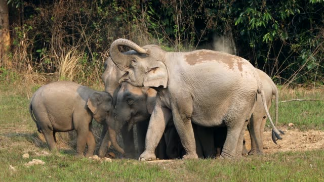 Amazing of Group asian elephants in the forest video