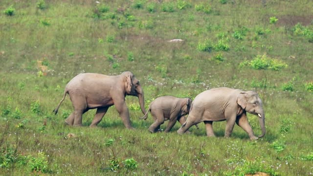 Amazing of Group asian elephants , slow motion video