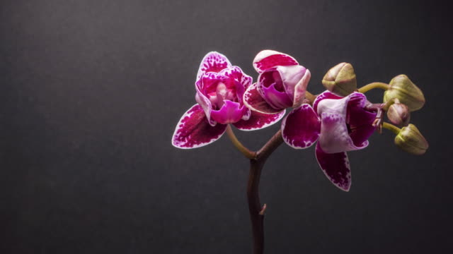 Amazing purple flower Orchid time lapse with a dark grey background.