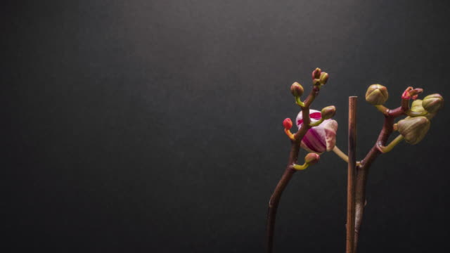Amazing purple flower Orchid time lapse with a dark grey background