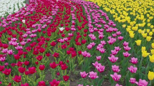 美しい地元の観光地に咲く、赤、黄、オレンジのチューリップ。美しいチューリップの花、大きな庭で開花 - キューケンホフ公園点の映像素材/bロール