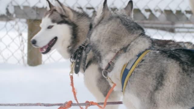 incredibile siberiano huskies pronto per passeggiate su slitte trainate dai cani - cane husky video stock e b–roll