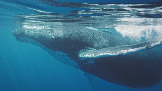 Amazing underwater view of humpback whales swimming in the ocean video